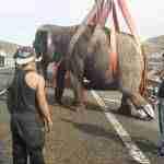 accidente a 30 elefantes 8 150x150 - Un accidente con elefantes en la Autovía A-30 en Albacete
