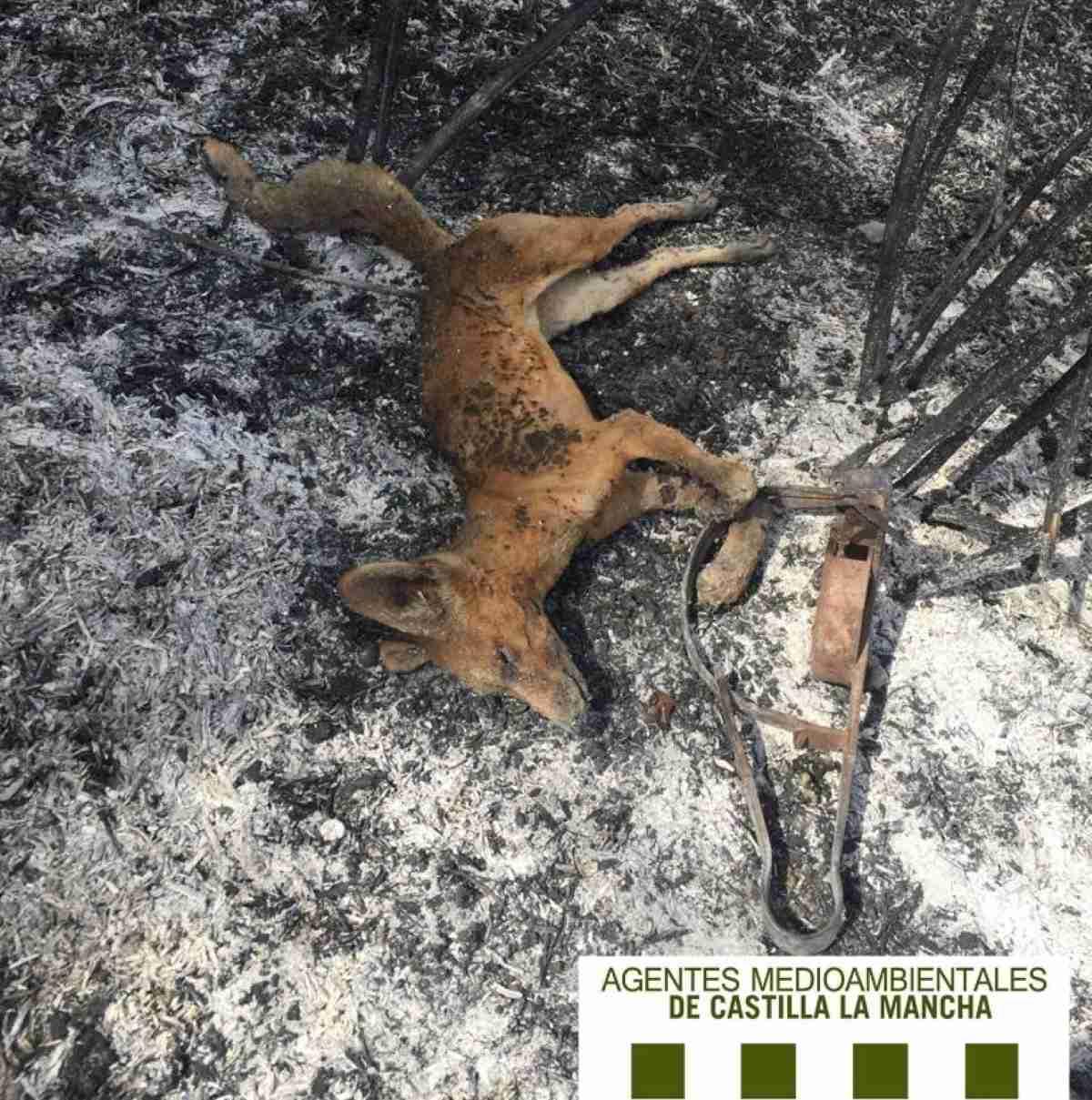agentes_medioambientales_de_Castilla_La_Mancha_encuentran_cádaver_de_zorro_quemado
