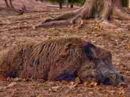 triquinosis por consumo de carne de jabali
