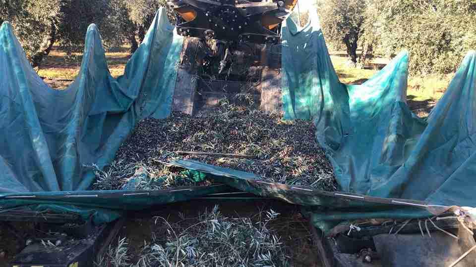 El olivar tradicional al filo del abismo tras una campaña catastrófica 1