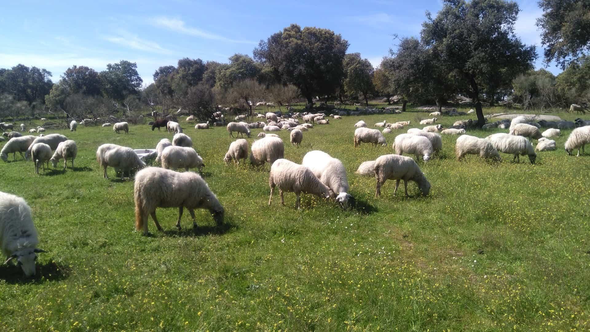 El Ministerio valoró las consideraciones de la UPA en ayudas de ovino y caprino 1