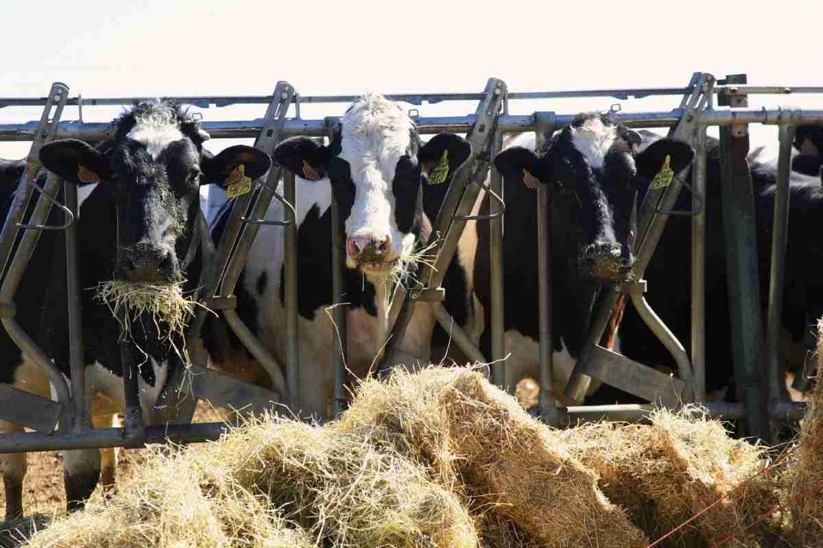 entregadas ayudas asociadas para las vacas nodrizas