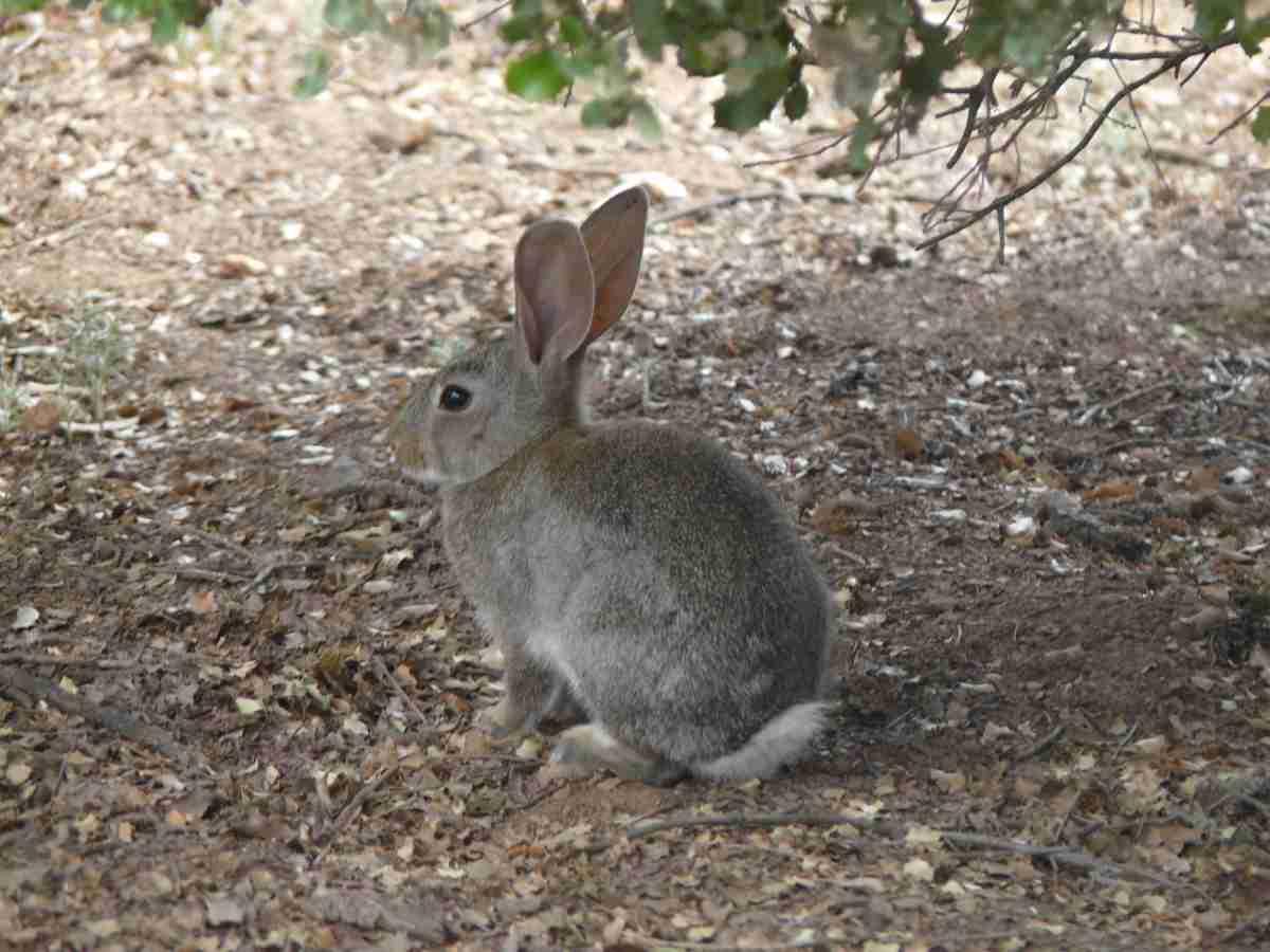 junta autorizara caza de conejo de monte
