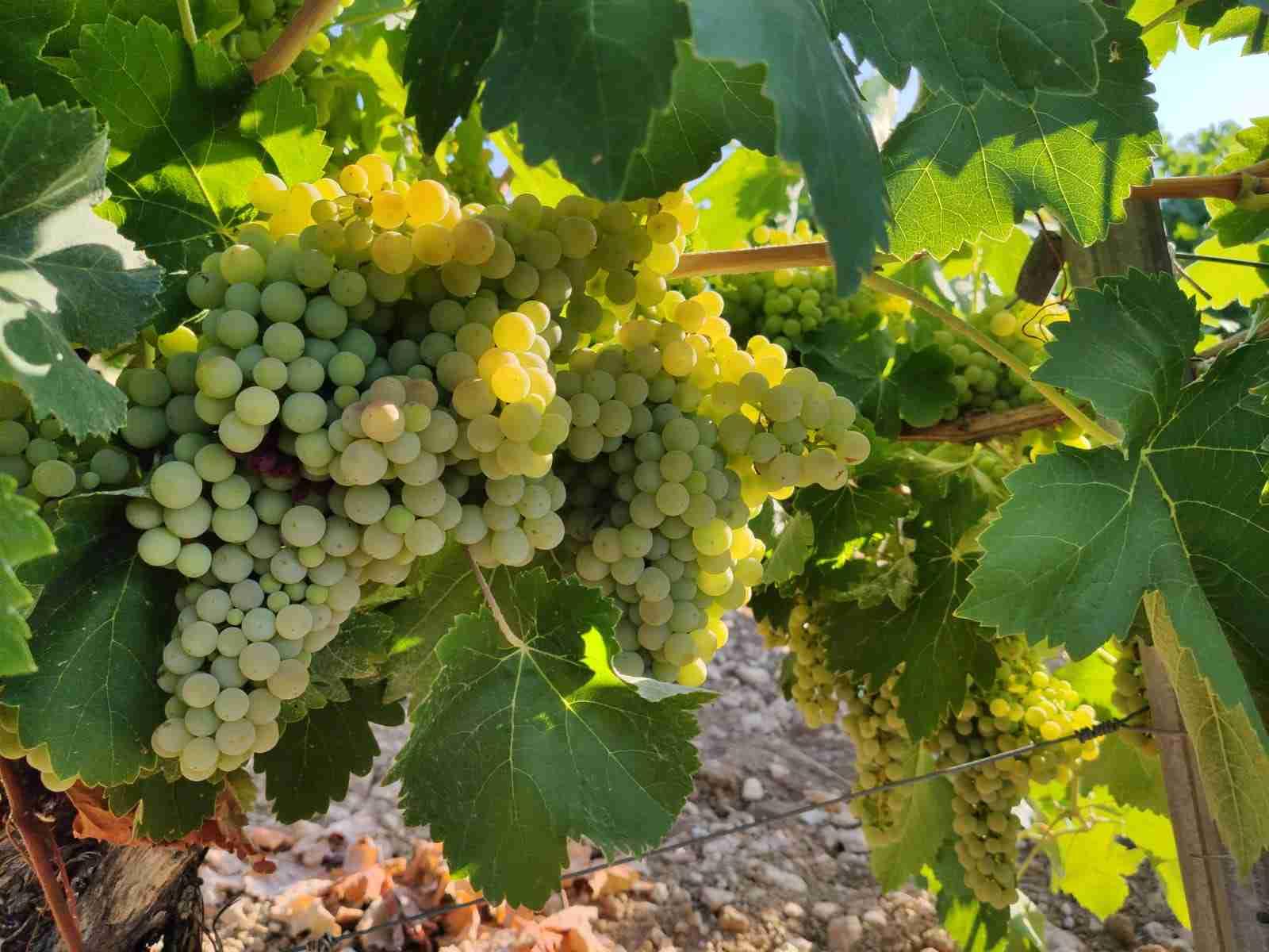 Preocupación entre los agricultores de El Progreso por los precios de la uva que se están viendo en la provincia 6