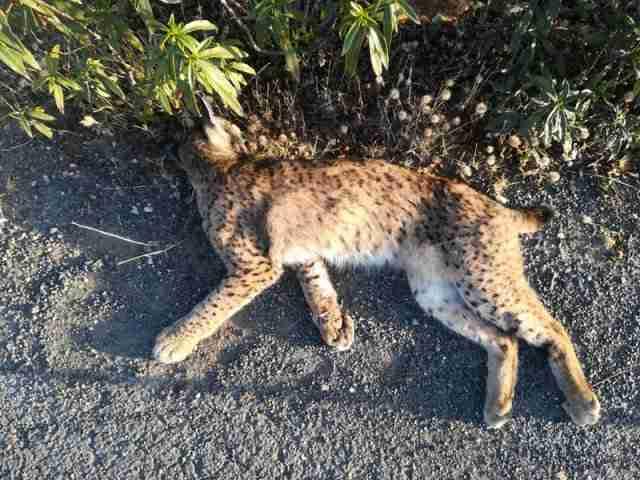La Federación de Caza sentará en el banquillo al cazador que dio muete a una hembra de lince en Castilla-La Mancha 1