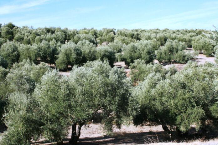 dia del olivo