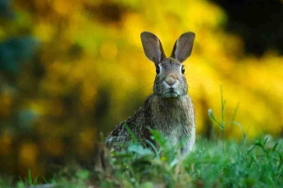 plaga de conejos cinegetica