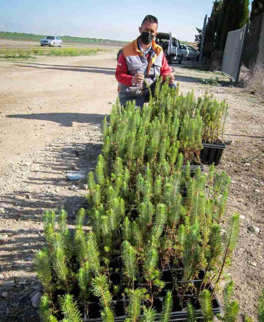 Comienza la reforestación del vertedero sellado con 800 pinos piñoneros 3