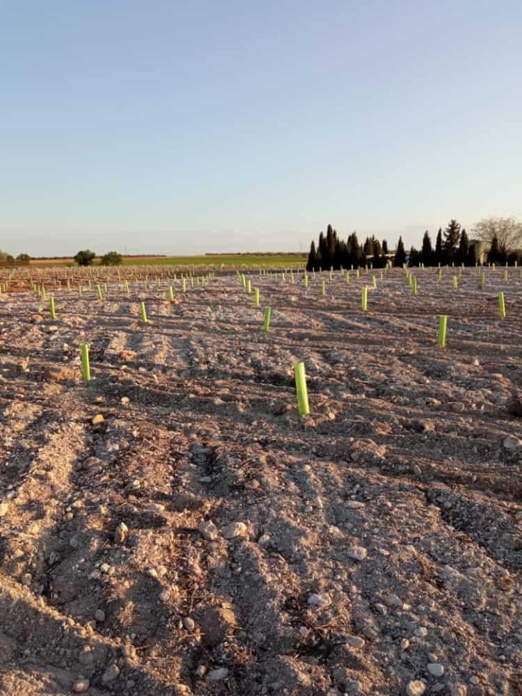 Comienza la reforestación del vertedero sellado con 800 pinos piñoneros 2