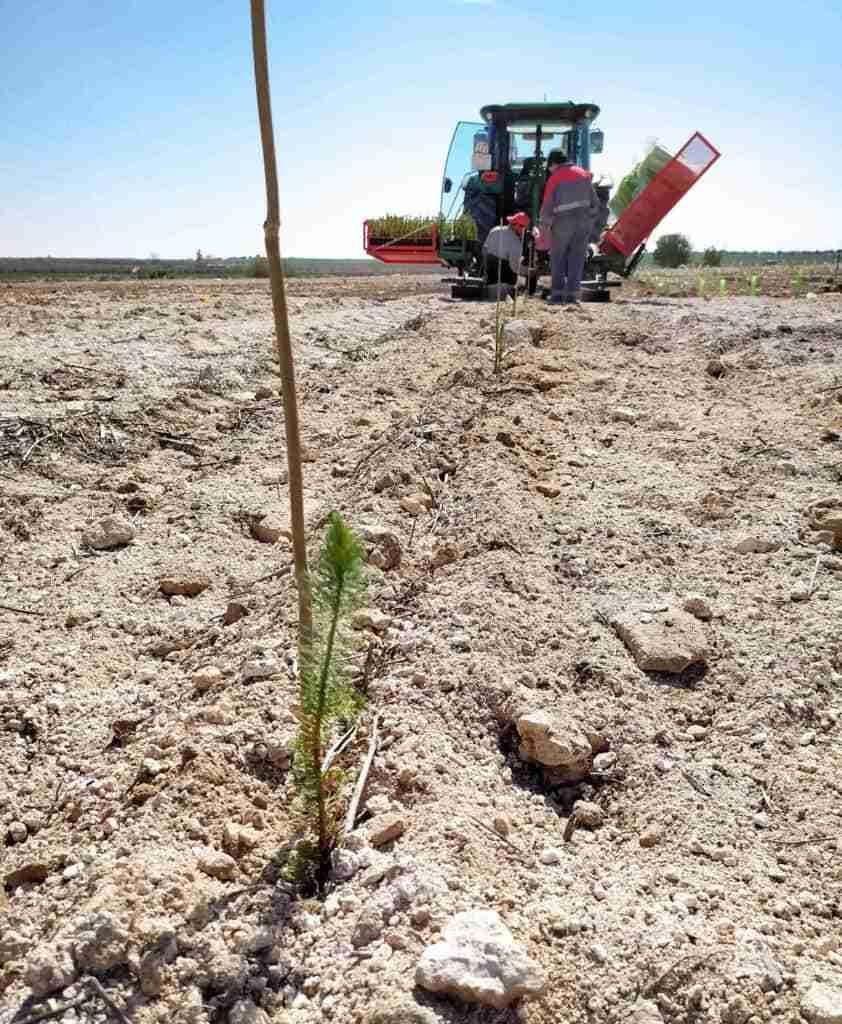Comienza la reforestación del vertedero sellado con 800 pinos piñoneros 1
