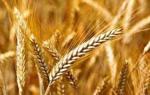 Buenas perspectivas para la campaña del cereal 1