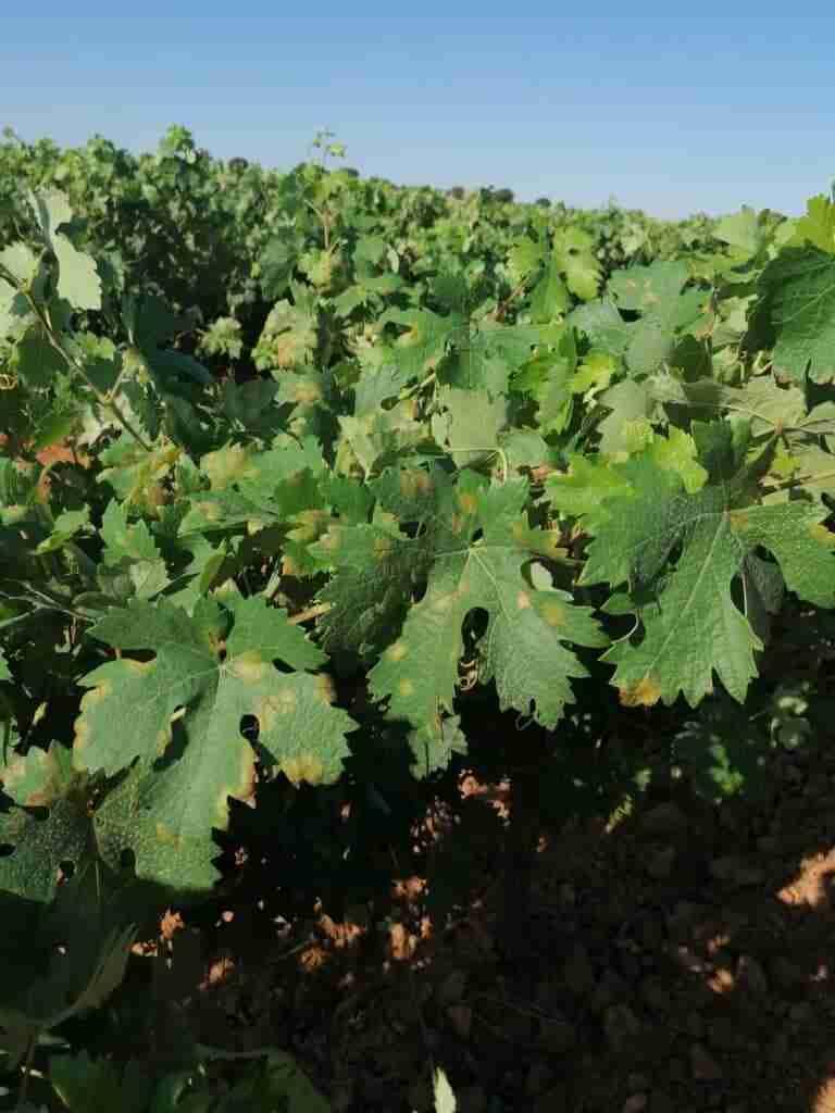 Alerta en viticultores de la región por el mildiu 4